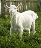 Cute white goat yeanling Stock Image