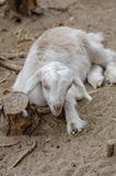 Cute white goatling. Is  resting on the farm stock photo