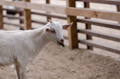 Cute white goatling. Is standing on the yard.It is trying to chew the leaf royalty free stock image
