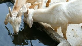 Cute white goats drink water from trough. Cute white goats drink water from the trough stock video footage