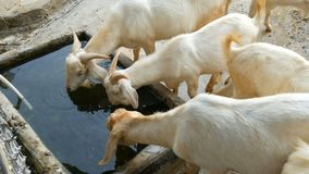 Cute white goats drink water from trough. Cute white goats drink water from the trough stock footage
