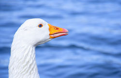 Cute white goose with natural deep blue eyes Royalty Free Stock Photos