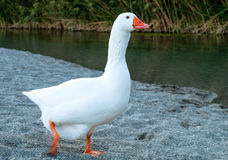 Cute White Goose. White Goose runs along the river bank stock images