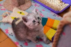 Pretty white gray British kitten sitting on cat house and looking up stock images