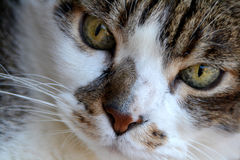 Cute white and gray cat Royalty Free Stock Photos