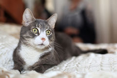 CUte white and grey cat Royalty Free Stock Photo