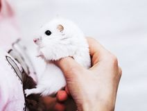 A cute white hamster in the hands of a girl. stock photo