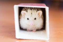 Cute white hedgehog hiding in a box Royalty Free Stock Image