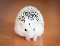 Cute white hedgehog on wooden floor Stock Photos