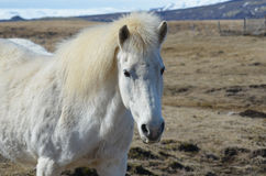 Cute White Icelandic Horse in Iceland. Amazing white Icelandic horse standing in a field on a farm in Iceland Stock Photo