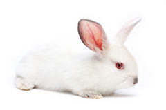 Cute white isolated baby rabbit Royalty Free Stock Image