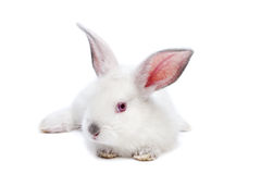 Cute white isolated baby rabbit Royalty Free Stock Photography