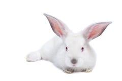 Cute white isolated baby rabbit stock photo