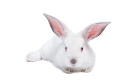 Cute white isolated baby rabbit Royalty Free Stock Photo
