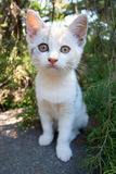 Cute white kitten. Beautiful and Cute white kitten in the bush Royalty Free Stock Photography