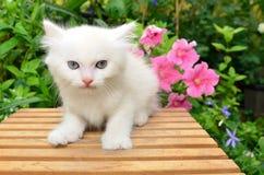 Cute White Kitten Stock Images