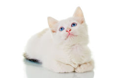 Cute White Kitten. Looking up, with a curious expression, over white background Stock Photo
