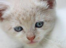 Cute white kitten Royalty Free Stock Image