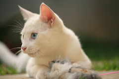 Cute white kitten. A closeup view of a cute, white kitten outdoors Stock Photography