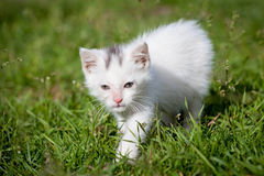 Cute white kitten Royalty Free Stock Photography
