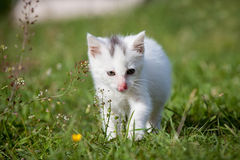 Cute white kitten Stock Images