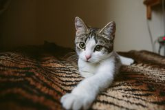 Cute white kitten lies on fur tiger blanket royalty free stock images