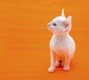 Cute White Kitten On Orange Background Royalty Free Stock Image
