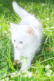 Cute white kitten in the park. Royalty Free Stock Photo