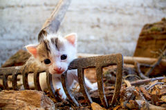 Cute white kitten on the rusty rake Royalty Free Stock Images