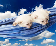 Cute white kittens in hammock isolated at blue sky stock photo