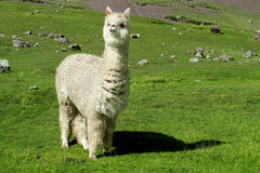 Cute white lama on green field stock photos