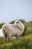 Cute white lamb on green pasture Royalty Free Stock Photos
