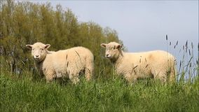 Cute white lambs on dike. Cute white lambs on green dike stock video footage