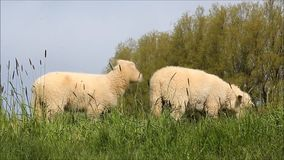 Cute white lambs on dike. Two cute white lamb on dike stock video