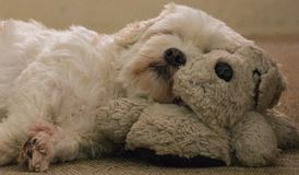 Cute white Lhasa Apso dog sleeping on a dog Royalty Free Stock Images