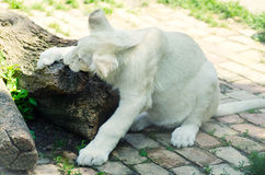 Cute white lion cub in Beograd zoo Stock Images