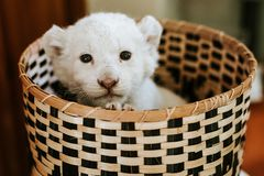 Cute white lion cub in brown basket. Looking straight to the camera royalty free stock photography