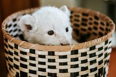 Cute white lion cub in brown basket stock photo