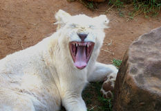 Cute white lion cub yawns. South Africa Royalty Free Stock Images