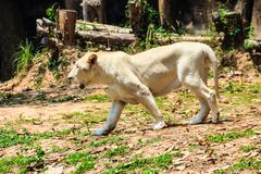 Cute white lion while walking. Cute white lion is walking in the forest at he national park Stock Photos