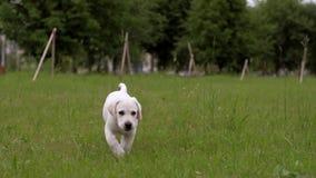 White little puppy Labrador walks on park.