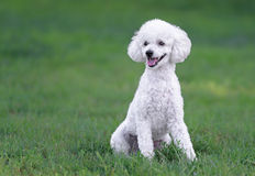 Cute white male poodle puppy Stock Images