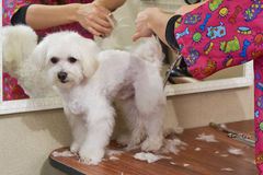 Cute white maltese being groomed. Hands with scissors, dog haircut Stock Photography