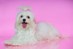 A cute white Maltese dog Stock Photo