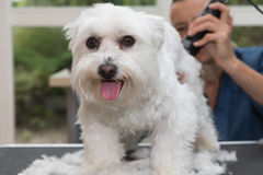 The cute white Maltese dog is in dog salon Stock Images