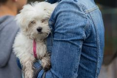 Cute white maltese on the hands of the hostess. Dogs Royalty Free Stock Images