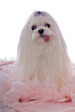 Cute White Maltese on Pink Feathers Royalty Free Stock Image