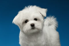 Cute White Maltese Puppy with Funny tail Looking in Camera Stock Image