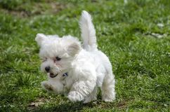 Cute Maltese puppy running. Cute White Maltese puppy on green grass Royalty Free Stock Image