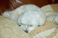 White Maltese Puppy Sleeping. Cute white Maltese puppy sleeping on brown leather couch Royalty Free Stock Photography